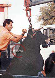 Bull being killed 20 minutes after being
